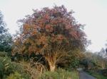 Rowan_tree_20081002b